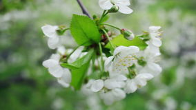 Weiße Blumen auf blühendem Kirschbaum im Frühjahr Blühende Kirschblumen stock video footage