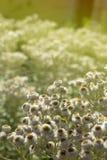 Weiße Blumen auf dem sonnigen Hintergrund Stockfotografie