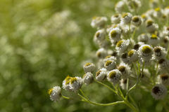 Weiße Blumen auf dem sonnigen Hintergrund Stockfotos