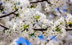 Weiße Blumen auf den Niederlassungen von süßen Kirschen Blühende Bäume im garden_ stockfotografie