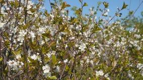 Weiße Blumen auf einem Baumast gegen einen blauen Himmel stock video