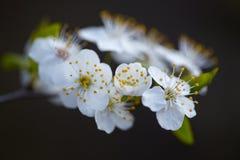 Weiße Blumen auf einem blühenden Baumast Lizenzfreies Stockfoto