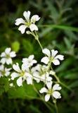 Weiße Blumen auf einem grünen Hintergrund Stockbilder