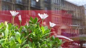 weiße Blumen auf einem Hintergrund der unscharfen Reflexion der Stadt Stockfotografie