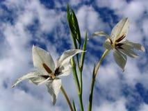 Weiße Blumen auf einem Hintergrund des Himmels Stockfoto