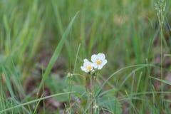 Weiße Blumen Weiße Blumen auf einer Lichtung Eine Sommerlichtung mit Blumen Lizenzfreie Stockfotos