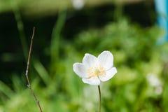Weiße Blumen Weiße Blumen auf einer Lichtung Eine Sommerlichtung mit Blumen Lizenzfreies Stockbild