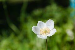 Weiße Blumen Weiße Blumen auf einer Lichtung Eine Sommerlichtung mit Blumen Stockfotografie
