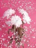 Weiße Blumen auf rosigem Hintergrund Lizenzfreie Stockbilder