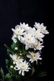 Weiße Blumen auf schwarzem Hintergrund Stockfotografie