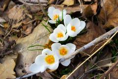 Weiße Blumen auf toten Blättern Stockbild