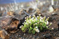 Weiße Blumen auf Vulkan lizenzfreie stockbilder