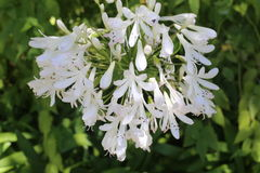 Weiße Blumen-Blühen Lizenzfreies Stockfoto