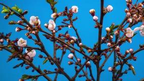 Weiße Blumen-Blüten auf den Niederlassungen Cherry Tree stock video footage
