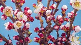 Weiße Blumen-Blüten auf den Niederlassungen Cherry Tree stock footage