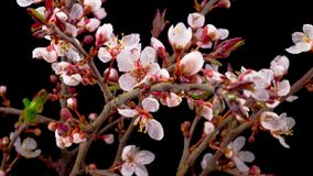 Weiße Blumen-Blüten auf den Niederlassungen Cherry Tree stock video