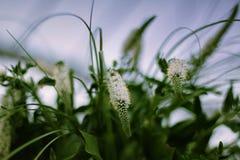 Weiße Blumen bokeh stockbild