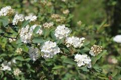 Weiße Blumen, Bush, unscharfer Hintergrund, draußen stockbild