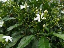 weiße Blumen in den grünen Blättern Stockfoto