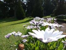 Weiße Blumen der afrikanischen Gänseblümchen im Garten stockfotografie