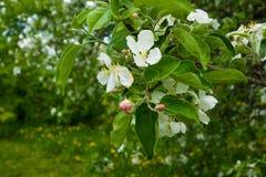 Weiße Blumen der Apfelbaum-Frühlingslandschaft Lizenzfreie Stockbilder