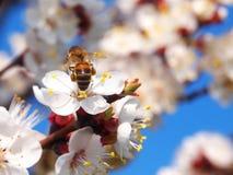 Weiße Blumen der Aprikose mit Bienen auf ihnen Stockfoto