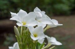 Weiße Blumen der Azalee Stockfotografie