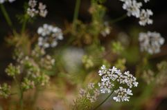 Weiße Blumen in der Blüte Stockfoto
