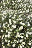 Weiße Blumen der Chrysantheme Lizenzfreie Stockfotografie