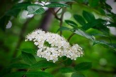 Weiße Blumen der Eberesche auf einem Hintergrund des grünen Blattes Lizenzfreie Stockbilder