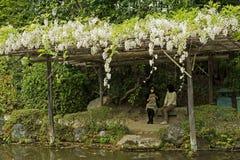 Weiße Blumen der Glyzinie wachsend auf den hölzernen Pergolen an Lizenzfreies Stockfoto