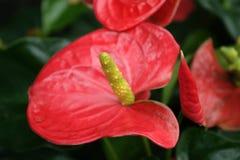 Weiße Blumen der Kirsche und der roten Tulpen Stockfoto