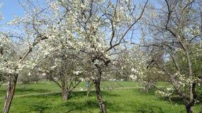 Weiße Blumen der Kirsche und der roten Tulpen Stockfotos