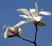 Weiße Blumen der Magnolie Stockfotos