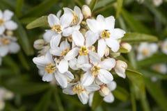 Weiße Blumen der mexikanischen orange Blüte lizenzfreie stockfotos