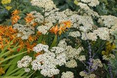 Weiße Blumen der Schafgarbe Lizenzfreie Stockfotografie