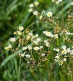 Weiße Blumen in der Wiese stockfotos