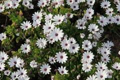 Weiße Blumen der Wiesen Stockfotos