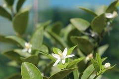 Weiße Blumen der Zitrusfrucht Stockbild