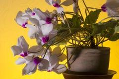 Weiße Blumen des Alpenveilchens Stockfotografie