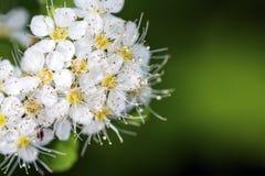 Weiße Blumen des blühenden spirea Busches Stockfotografie