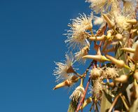Weiße Blumen des Eukalyptus gegen blauen Himmel Lizenzfreies Stockfoto