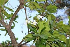 Weiße Blumen des Ficus auf Niederlassungen Tropische Länder Stockfotografie