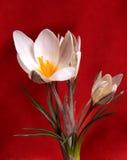 Weiße Blumen des Frühlinges auf einem roten Hintergrund stockfotos