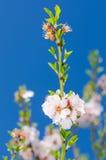 Rosa und weißes Frühlingsblühen Stockfotografie