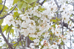 Weiße Blumen des Frühlinges der wilden Kirsche Lizenzfreie Stockbilder