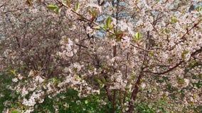 Weiße Blumen des Frühlinges eines Kirschbaums Die Kamera bewegt Großaufnahme stock video footage