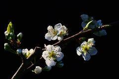 Weiße Blumen des Frühlinges und Knospen von Kirschbaum Prunus avium auf dunklem Hintergrund Lizenzfreie Stockbilder