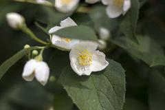 Weiße Blumen des Jasmins Stockfotos