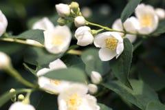 Weiße Blumen des Jasmins Lizenzfreie Stockfotos